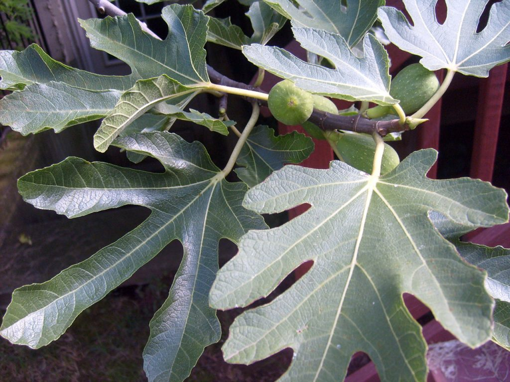 Effective Uses For Fig Leaves