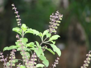 Basil Leaves - One Of The Effective Home Remedies For Mosquito Bites
